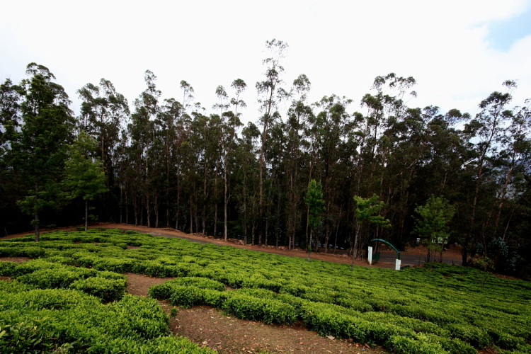 Tea Plantations at Tea Park, Ooty