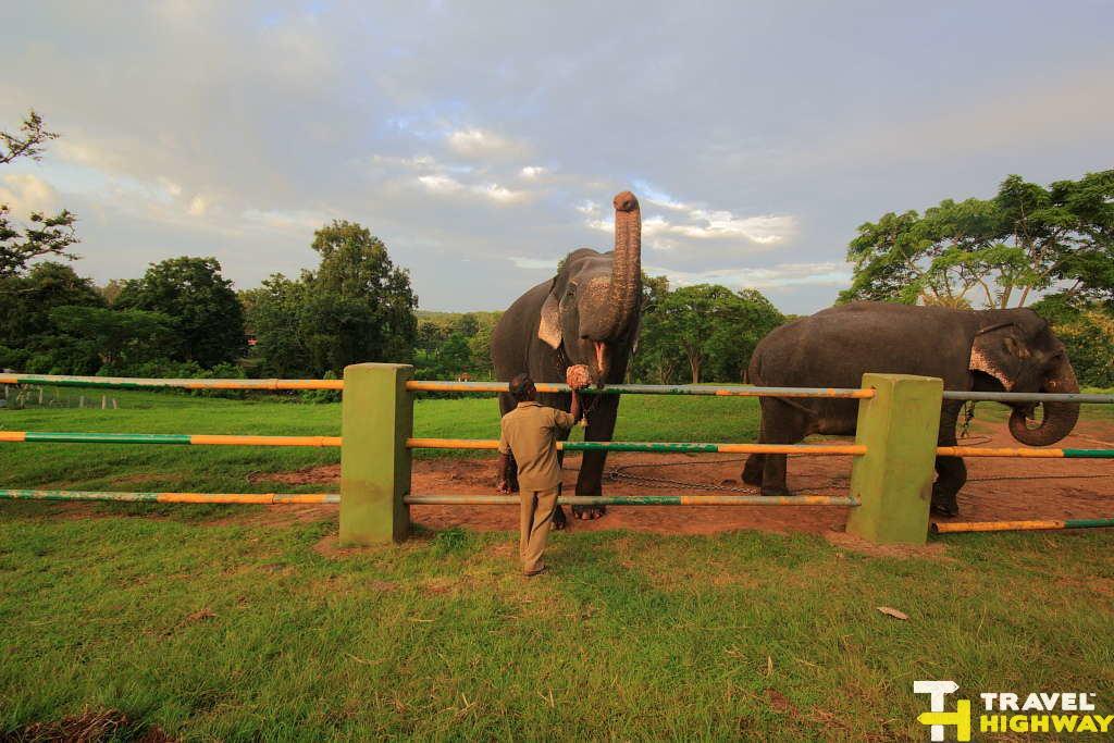Feeding the elephants at Masinagudi elephant camp