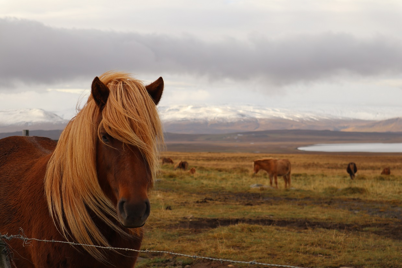 Handsome Icelandic Horses